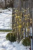 Jasminum nudiflorum (Winterjasmin) und Buxus (Buchs - Kugeln)