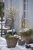 Chimonanthus praecox (Winterblüte), stark duftender Winterblueher