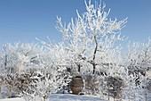 Mit Rauhreif-Kristallen überzogene Apfelbäume (Malus), Hecke aus Carpinus