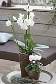 weiße Phalaenopsis (Schmetterlingsorchidee, Malayenblume) und Cylamen