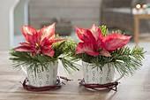 Euphorbia pulcherrima 'Ice Chrystal' (Weihnachtssterne) in Tassen