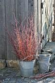Rote und orangefarbene Zweige von Cornus (Hartriegel) im Zink-Eimer