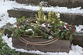 Holz - Kasten winterfest bepflanzt mit Skimmia 'Rubella (Blüten-Skimmie)