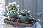 Winterfest verpackte Töpfe mit Pinus mugo 'Mops' (Mopskiefer) und Picea