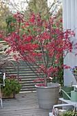 Acer palmatum (Japanischer Fächerahorn) in leuchtend roter Herbstfärbung