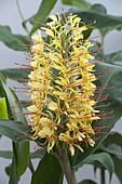 Hedychium gardnerianum (Blühender Zieringwer)