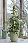 Hardenbergia violacea 'Alba' (weiße Korallenerbse) am Fenster