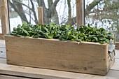 Holzkasten mit Spinat 'Matador' (Spinacia oleracea) im kalten Wintergarten