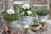 Primula acaulis (Primeln) , Thymian (Thymus), Salbei (Salvia), Oregano