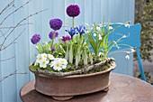Kleines Fruehlingsarrangement in Terracotta-Schale : Primula denticulata