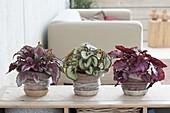 Begonia Rex-Hybriden 'Spitfire' links, 'Mikado' Mitte, 'Red Bull' rechts