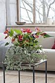 Betonschale mit Anthurium andreanum 'Sierra Red' (Anthurien, Flamingoblumen