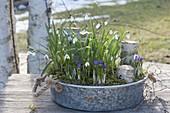 Zinkschale mit Galanthus nivalis (Schneeglöckchen) und Crocus
