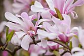 Magnolia x loebneri 'Leonard Messel' (Loebners Magnolie)