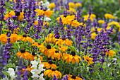 Sommerbeet mit Rudbeckia hirta (Sonnenhut), Salvia farinacea (Mehlsalbei) und Antirrhinum (Löwenmäulchen)