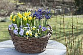 Blau-gelber Frühlings-Korb : Viola cornuta (Hornveilchen), Iris reticulata