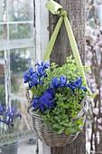 Korb als Ampel bepflanzt mit Viola cornuta (Hornveilchen), Minze (Mentha)