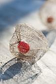 Im Frühling ist die aeussere Hülle von Physalis alkekengi (Lampionblume)