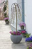 Salix caprea 'Kilmarnock' (Kätzchenweide) unterpflanzt mit Primula