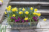 Bunter Korbkasten mit gefuellten Narcissus 'Rip van Winkle' (Narzissen)