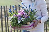 Frau bringt Frühlings - Geschenk - Kiste : Primula acaulis 'Suzette'