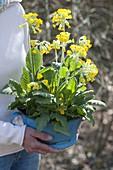 Frau hält alte Emaille - Schüssel mit Primula veris (Schluesselblumen)