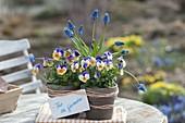 Viola cornuta Penny 'Peach Jump Up' (Hornveilchen) und Muscari armeniacum