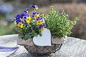 Kleiner Drahtkorb mit Viola cornuta Penny 'Primrose Picotee' (Hornveilchen)