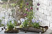 Fritillaria meleagris (Schachbrettblume) und Viola cornuta (Hornveilchen)