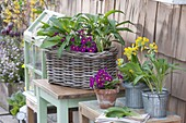 Korbkasten, Zinktoepfe und Tontopf mit Primula x pruhoniciana 'Wanda'