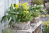 Wild garlic (Allium ursinum) and primula veris (bowl flower)