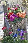 Korbkasten mit Primula acaulis (Primeln) und Ranunculus (Ranunkeln)