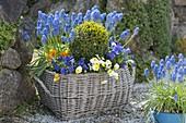 Korb mit Fruehlingsbluehern im Garten : Buxus (Buchs - Kugel), Muscari