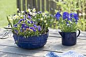 Blaue, emaillierte Guglhupfform, Backform und Milchtopf bepflanzt mit Narcissus