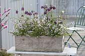 Holzkasten mit Boronia anemonifolia (Duftsternchen) und Fritillaria meleagris