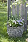 Weidenkorb mit Viola cornuta (Hornveilchen), Zitronenthymian (Thymus