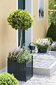 Kübel mit Buxus (Buchs) unterpflanzt