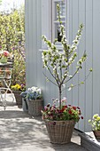 Sauerkirsche 'Morellenfeuer' (Prunus cerasus) in Weidenkorb, unterpflanzt