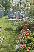 Beet mit Tulipa 'Ballerina' (Lilienbluetigen Tulpen), Iberis (Schleifenblumen