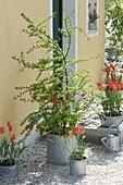 Zink-Gefaesse mit frisch ausgetriebener Larix (Lärche) und Tulipa 'Ballerina'