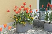 Graue Jardiniere mit Tulipa 'Ballerina' (Lilienbluetigen Tulpen) und Viola