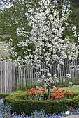 Sauerkirsche 'Morina' (Prunus cerasus), gesunde, wohlschmeckende Sorte