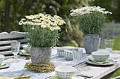 Argyranthemum frutescens (Margeriten) in grauen Toepfen als Tischdeko