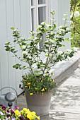 Durch die Jahreszeiten mit Aronia x prunifolia 'Viking' (Apfelbeere),