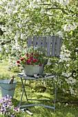 Zinkschale mit Bellis (Tausendschön) und Thymian (Thymus) auf Stuhl