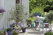 Olea europaea (Olivenbaeumchen) unterpflanzt mit Lobelia 'Lavender 47'