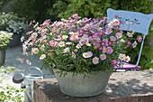 Argyranthemum frutescens 'Bubblegum Blast' (Margeriten) in Zink-Schale