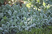 Stachys byzantina 'Silver Carpet' - Teppich-Woll-Ziest