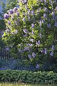 Syringa vulgaris 'Katharine Havemeyer' (Gefuellter Flieder)