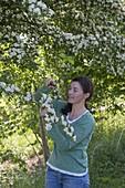 Frau schneidet Crataegus monogyna (Weissdorn) um Blüten und Blätter